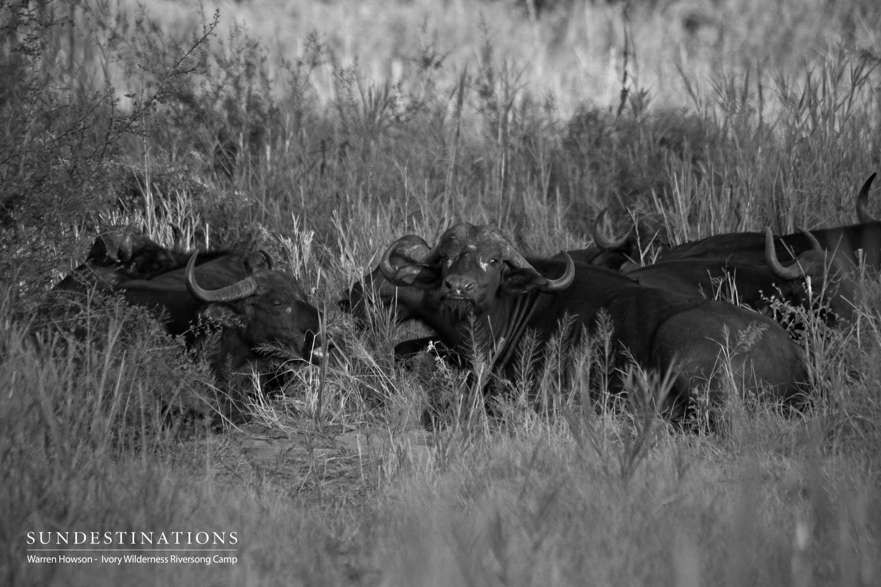 Ivory Wilderness Buffalo Herd