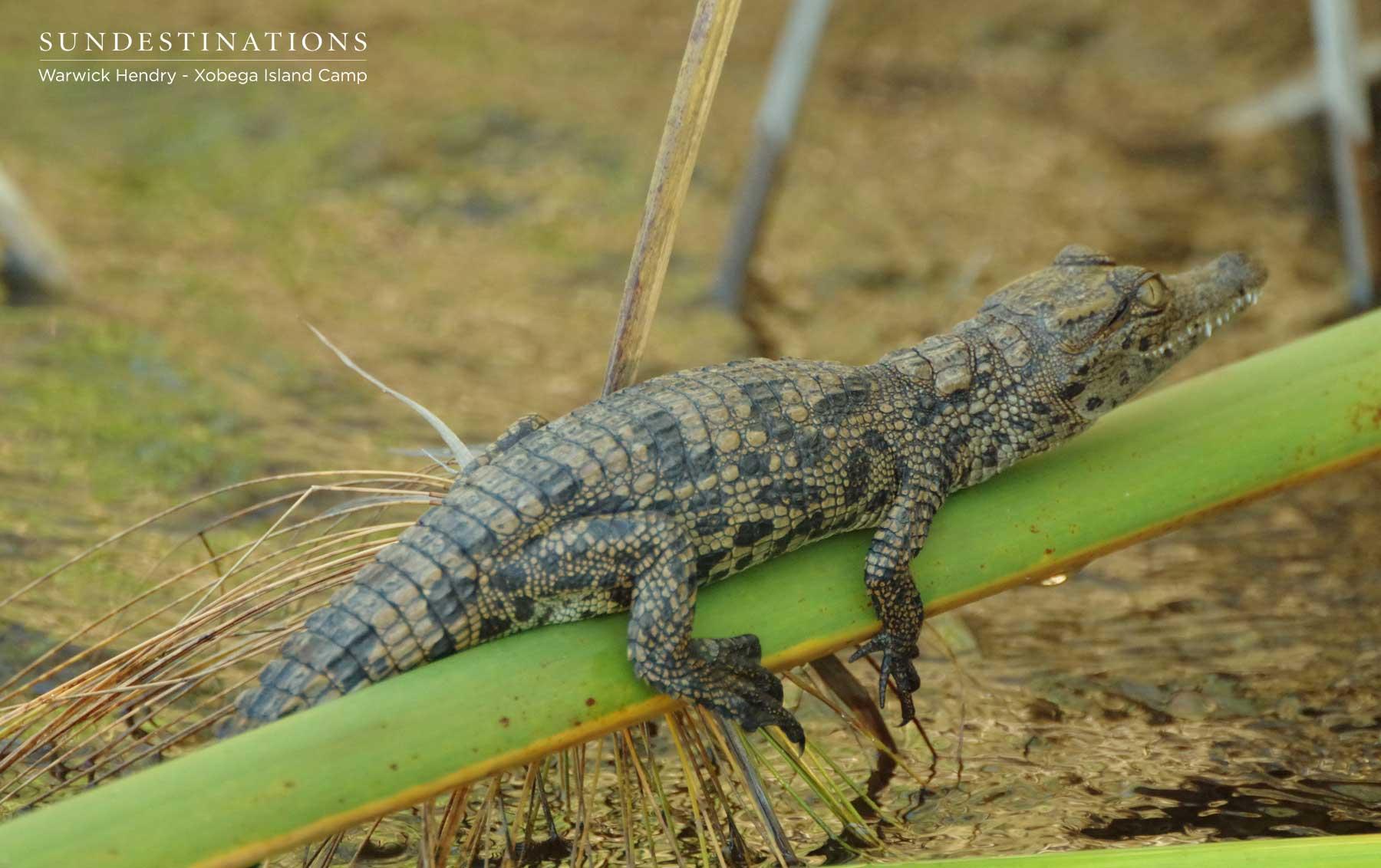 Nile Crocodile Xobega