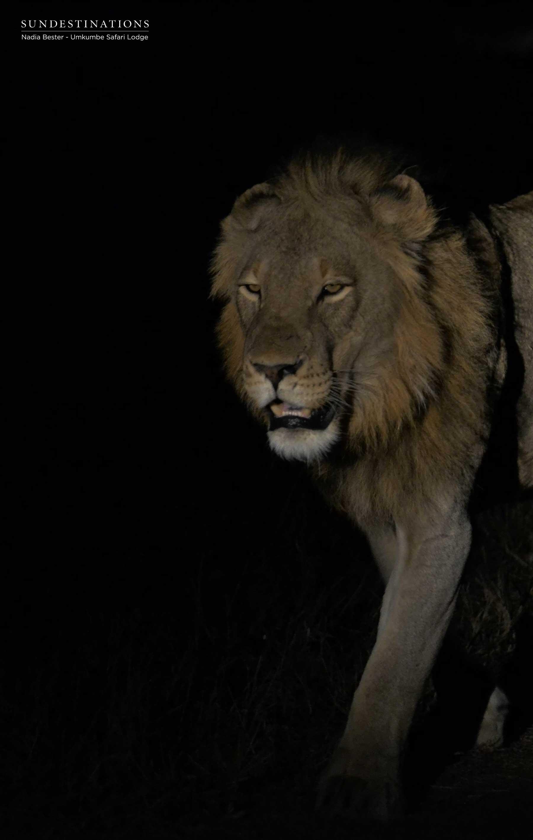 Tsalala Male Lions