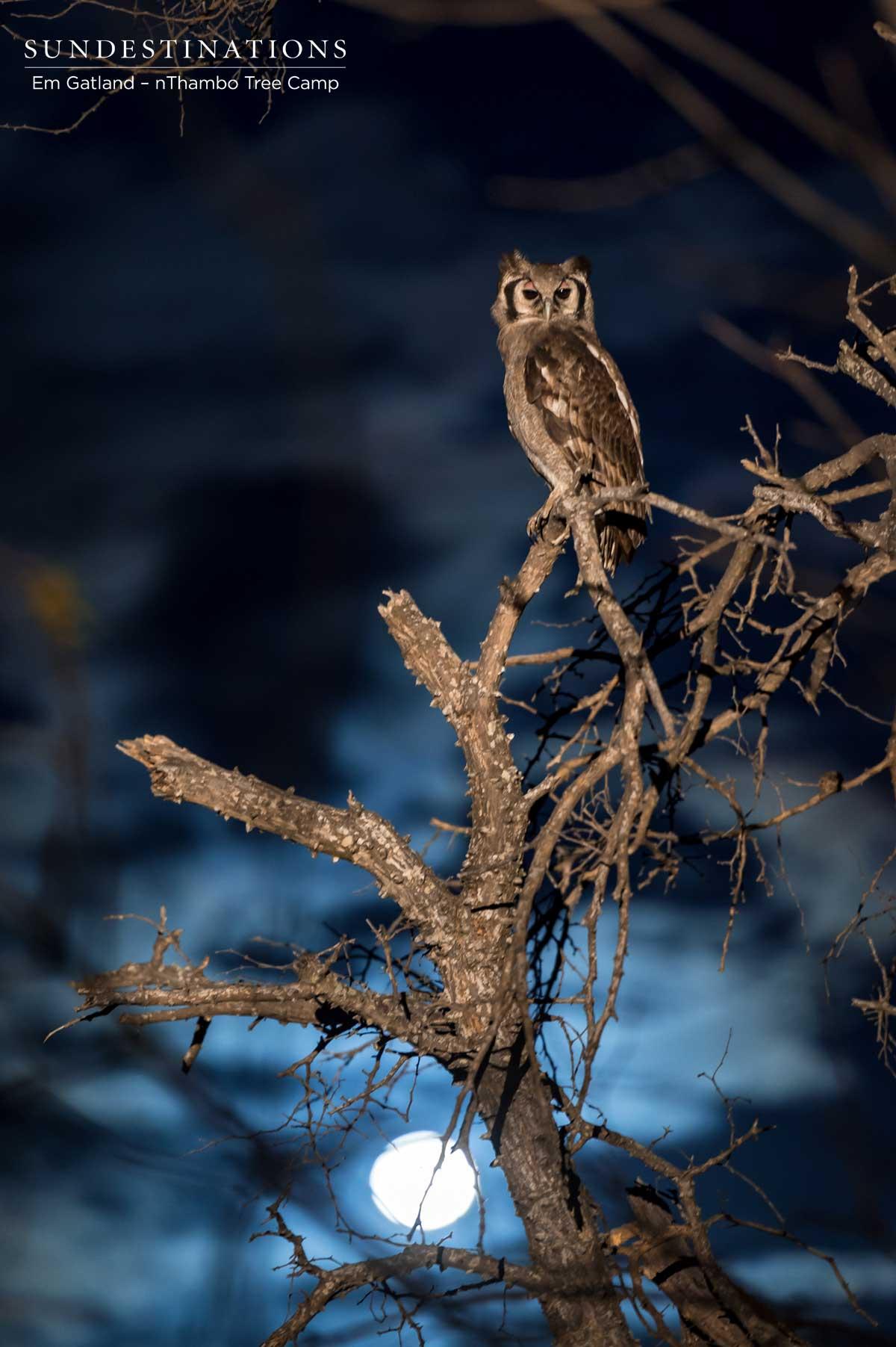 Giant Eagle Owl nThambo