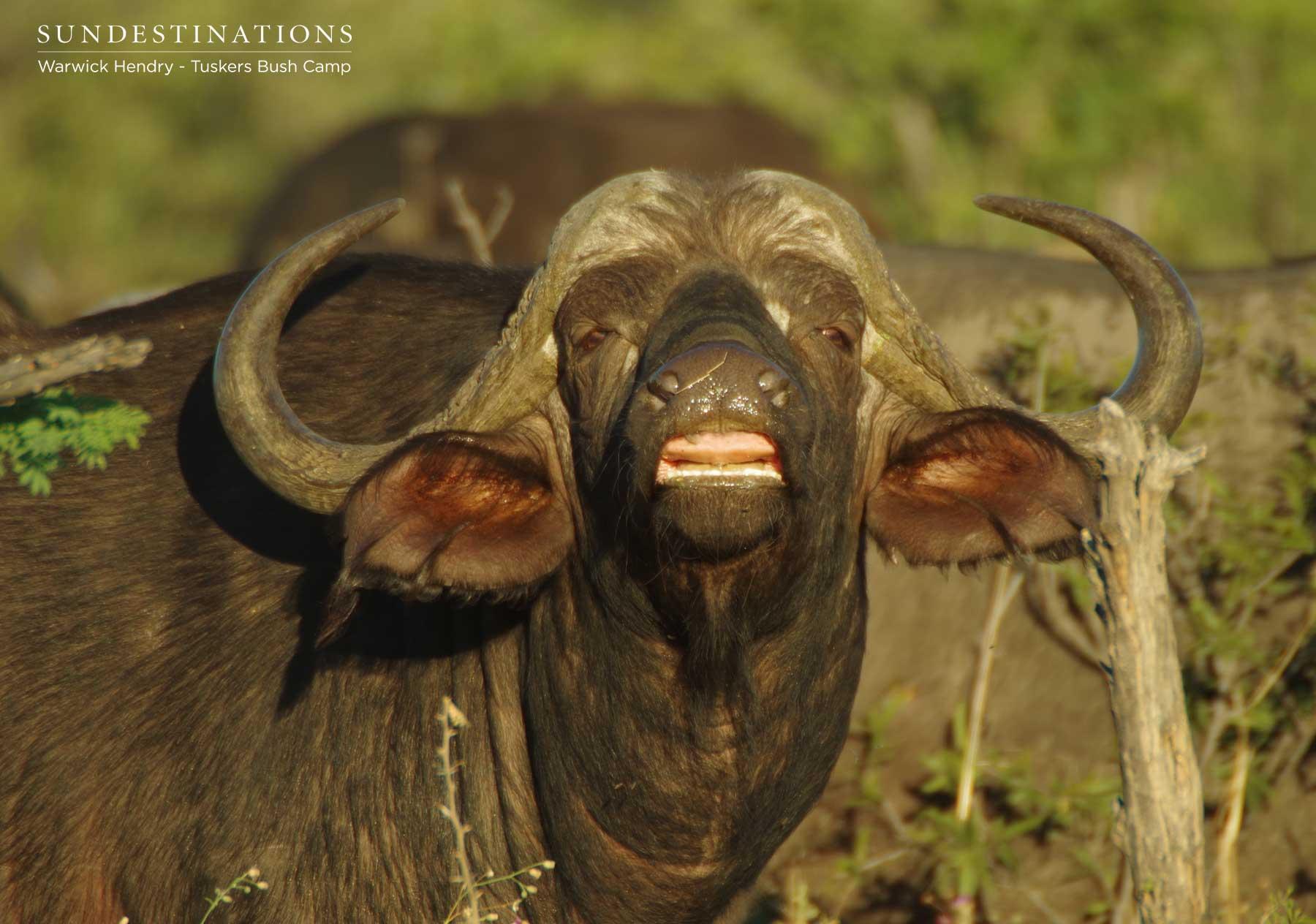 Tuskers Bush Camp Buffalo