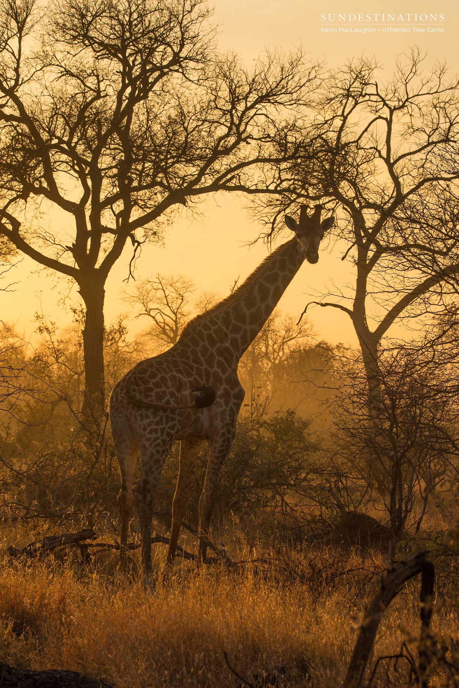 Giraffe Klaserie