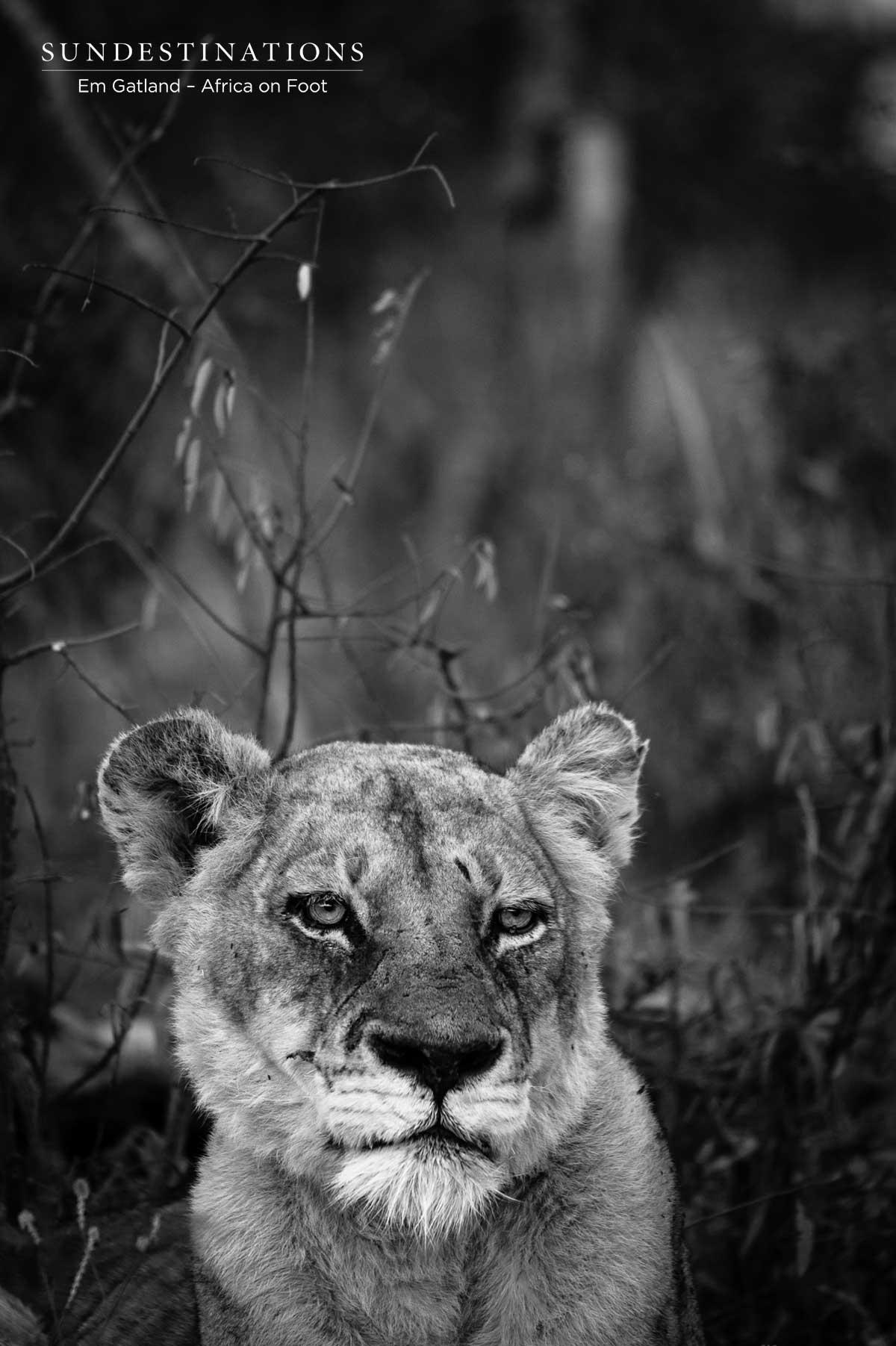 Ross Pride Breakaway Lioness