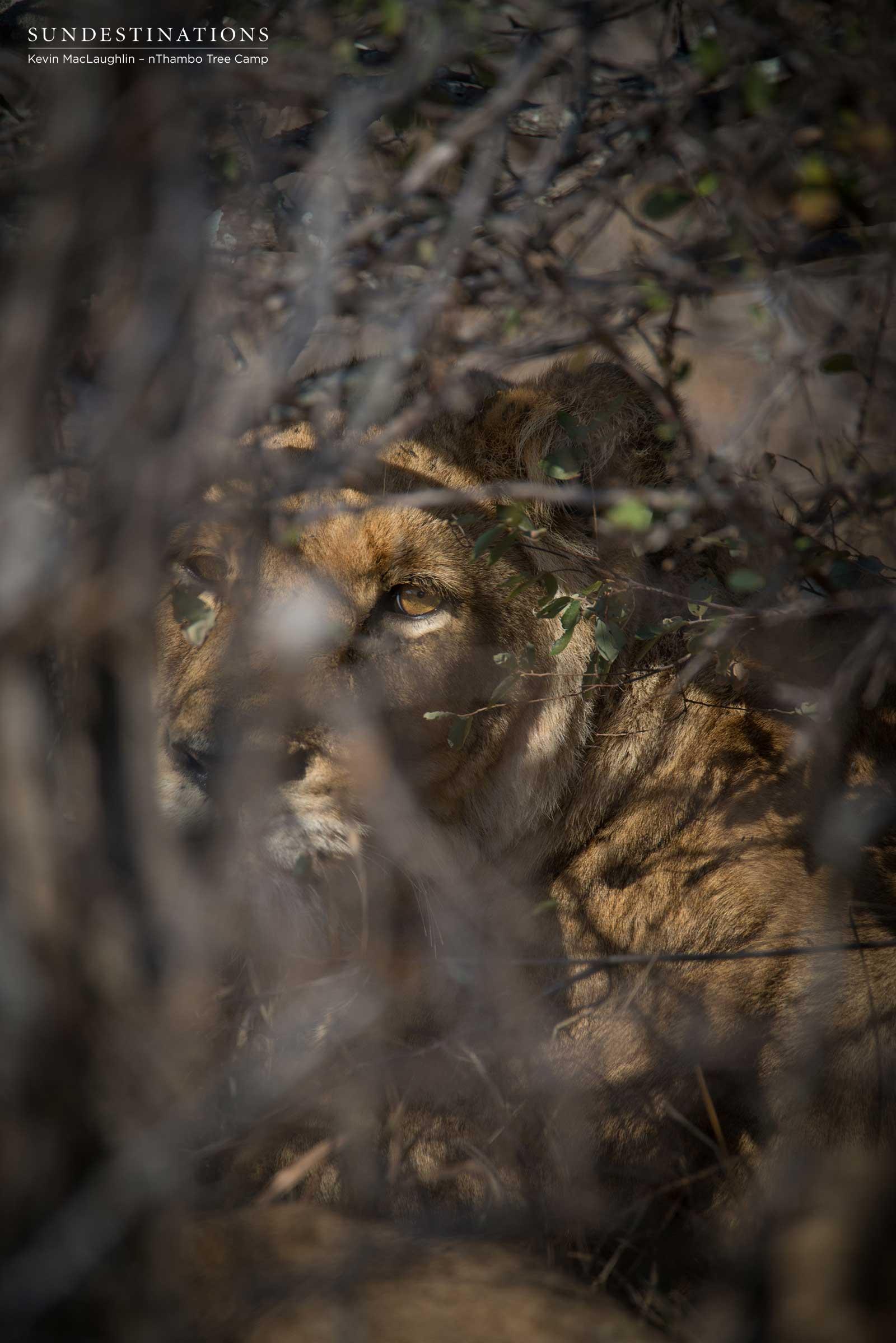Lioness Klaserie