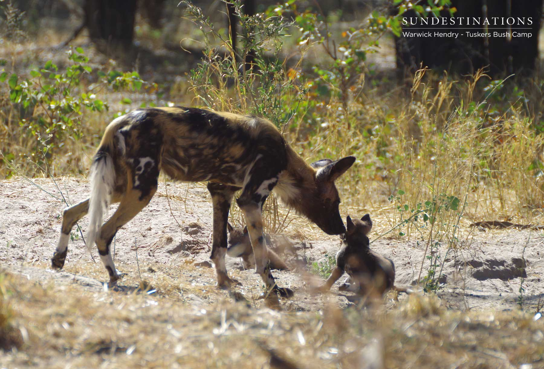 Wild Dog Pups at Tuskers