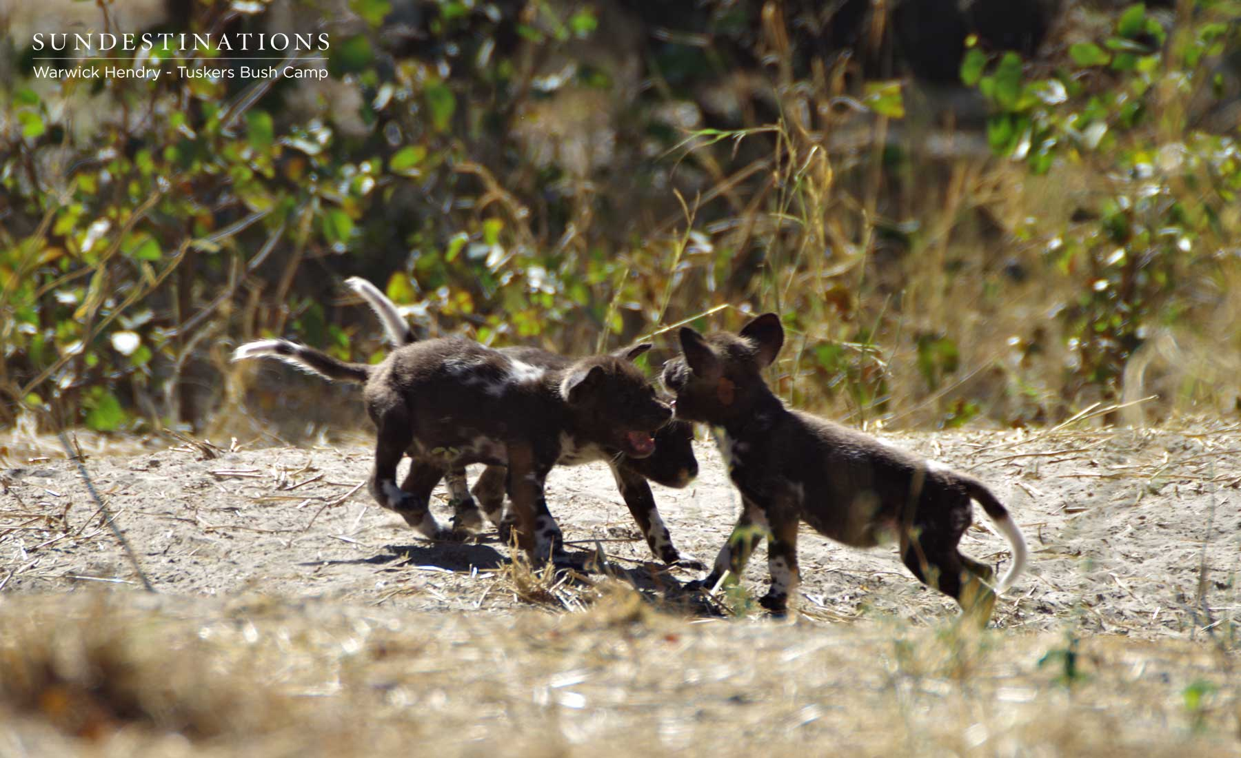 Wild Dogs Pups Playing