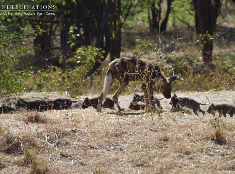Tuskers Bush Camp : African Wild Dog Pup Sighting!