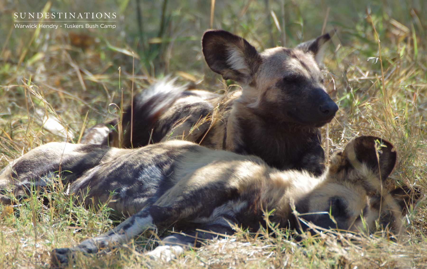 Wild Dog Adults