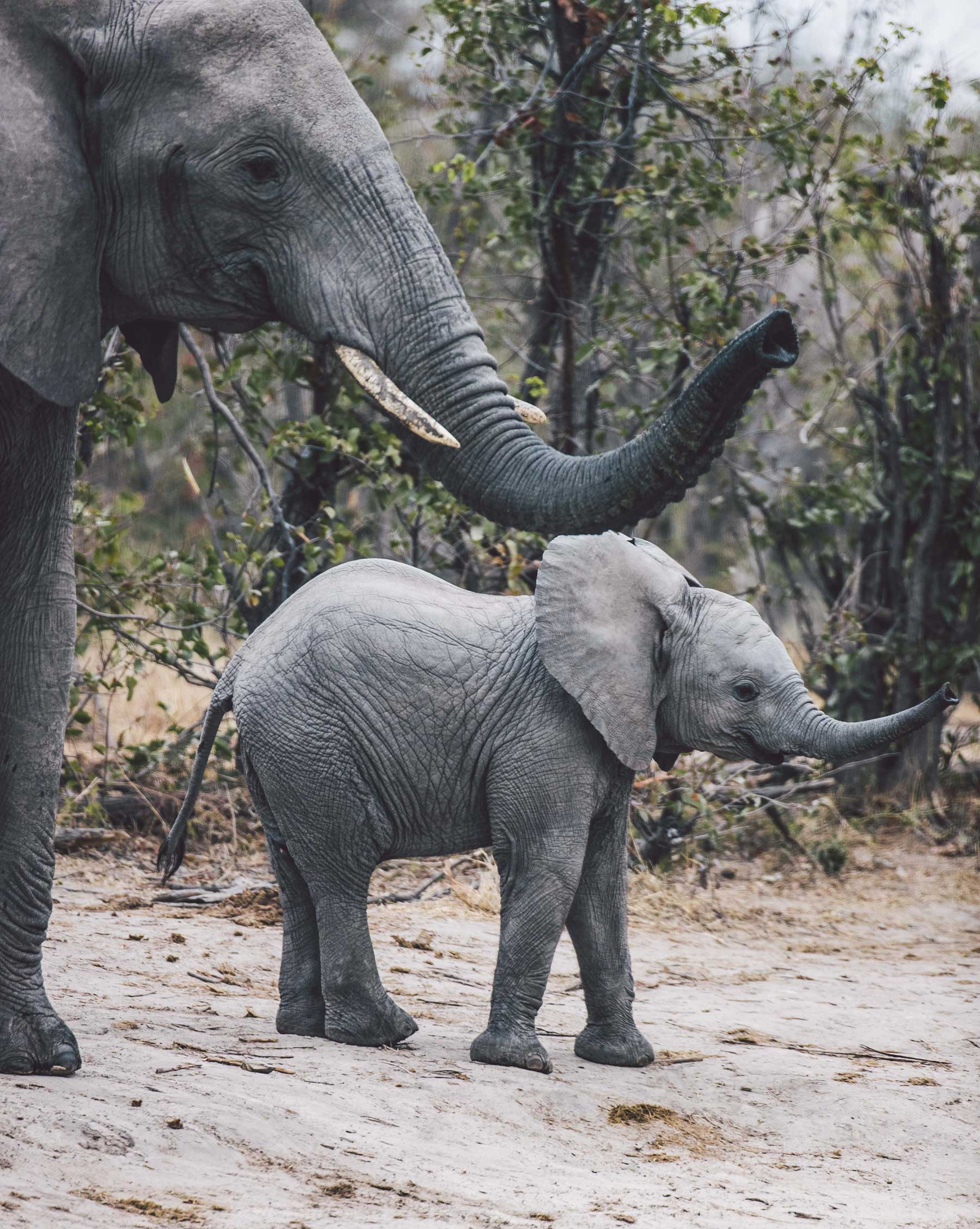 Elephant and Calf Tuskers