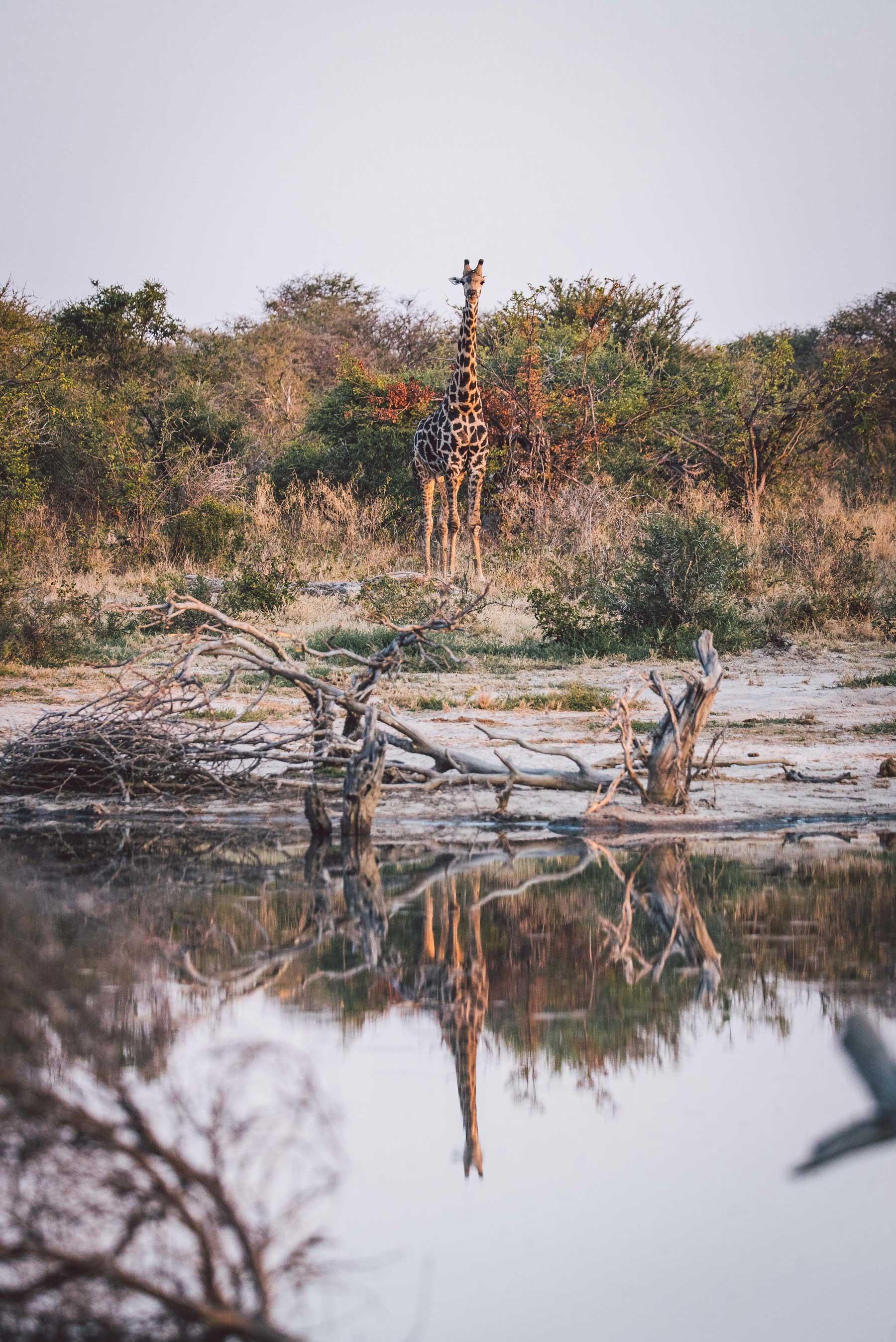 Giraffe at Tuskers Bush Camp