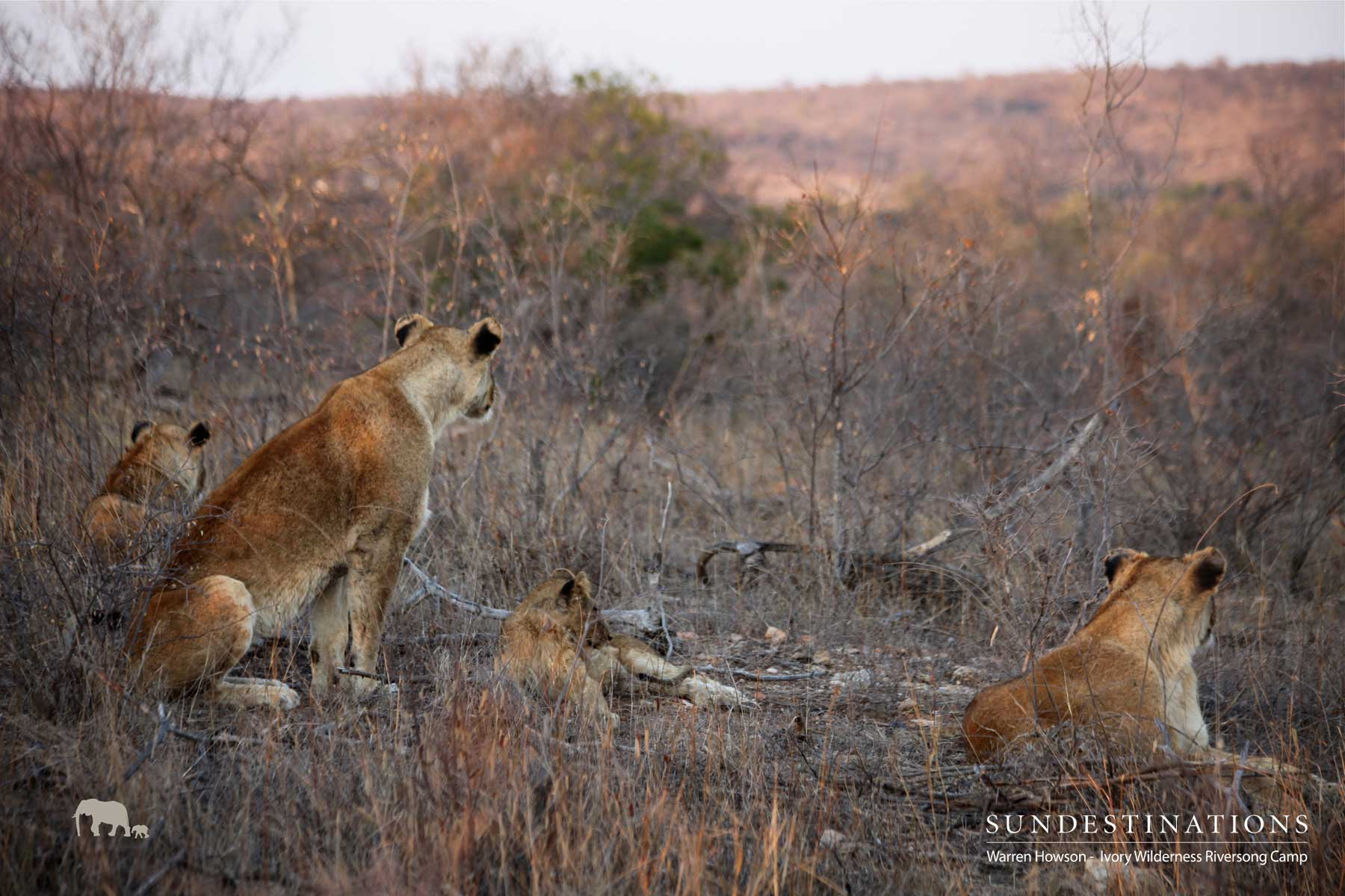 Warren's Weekly Wildlife Mix : Bundles of Lion Cubs