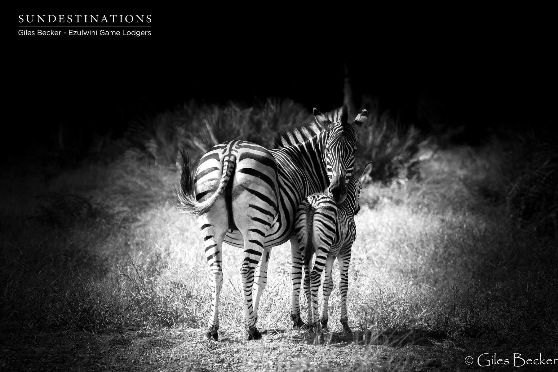 Zebra and Young
