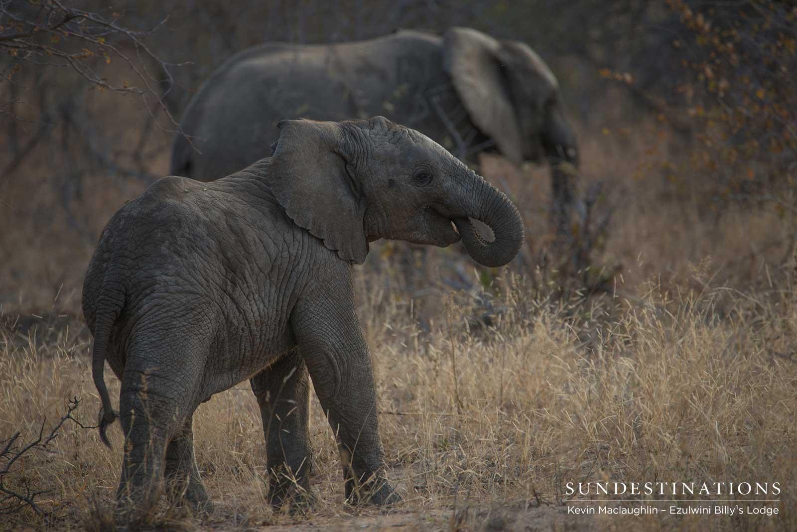 Elephant Calves in the Balule