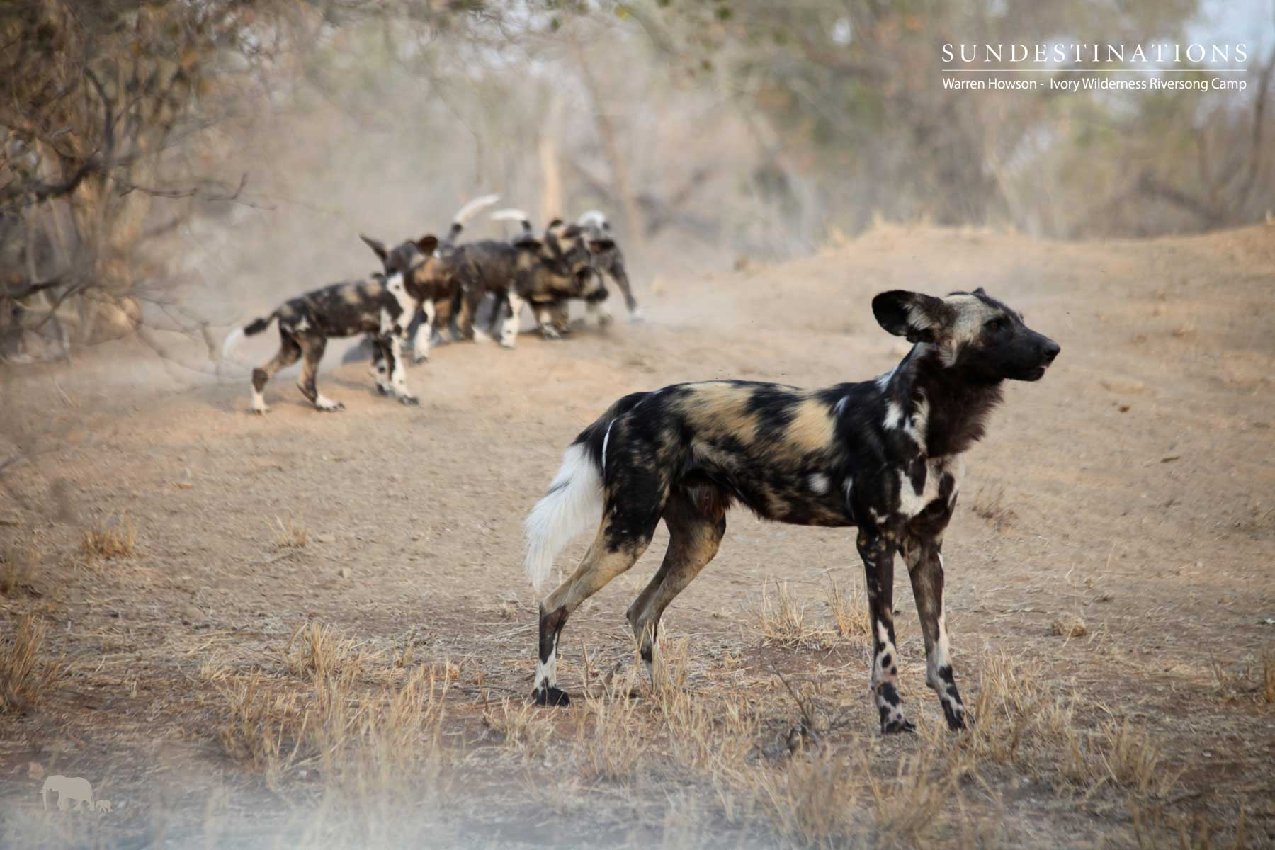 Ivory Wilderness Wild Dog Pack