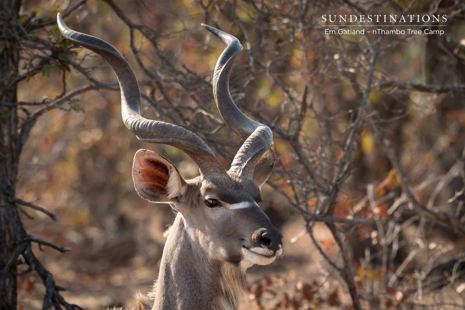 Majestic Kudu Bull