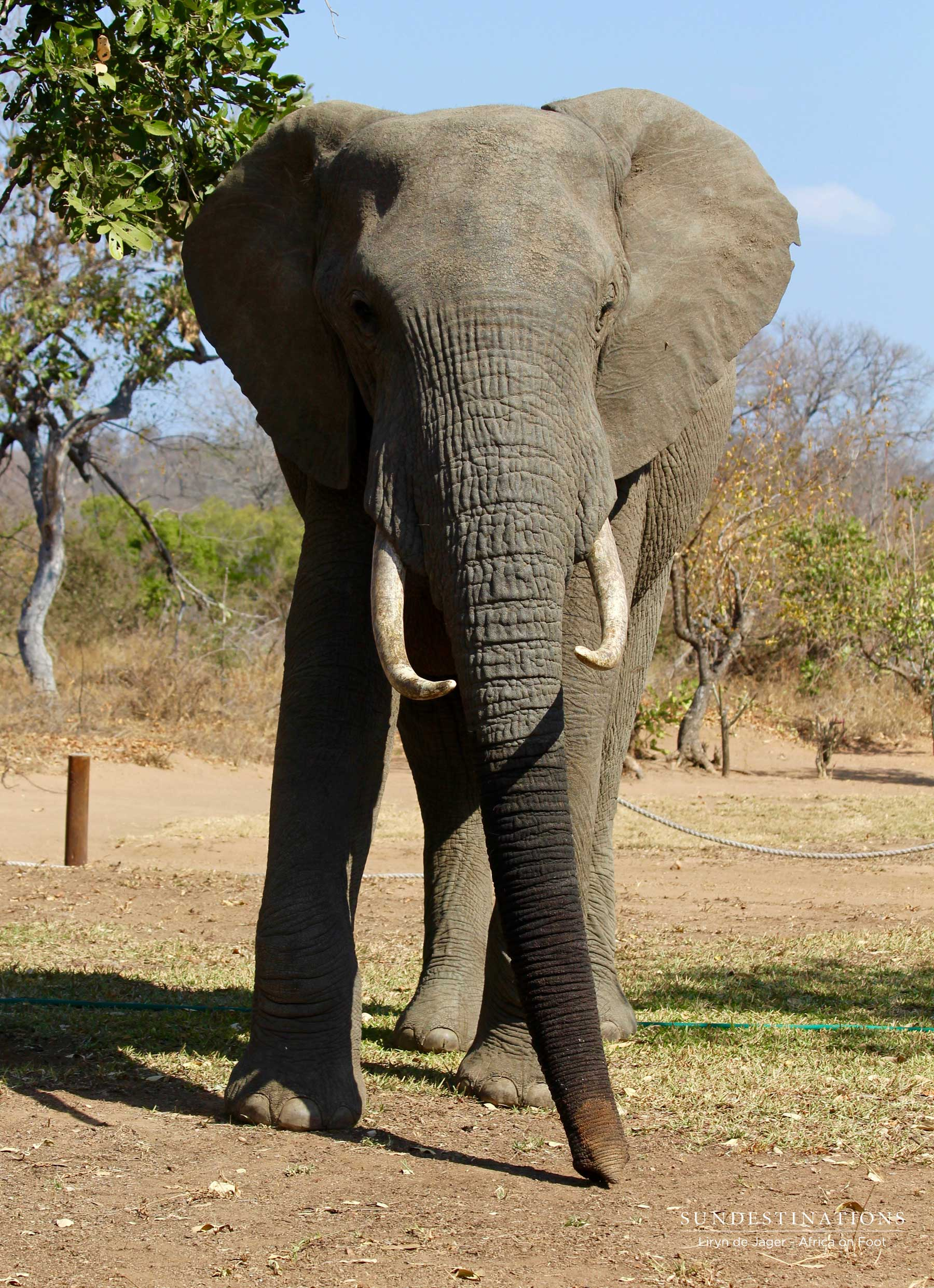 Elephant in Africa on Foot Camp