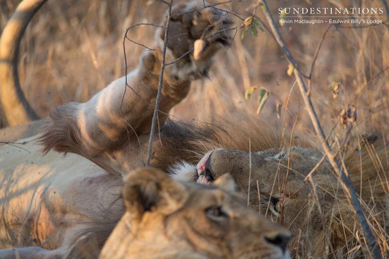 Machaton and Lioness Mating
