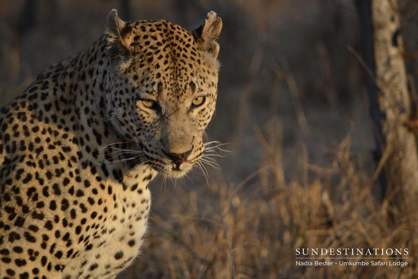 Mxabene Male Leopard