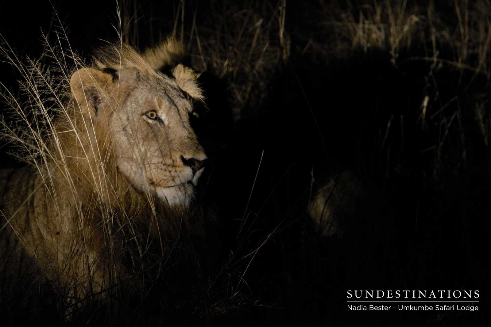 Tsalala Male Lion