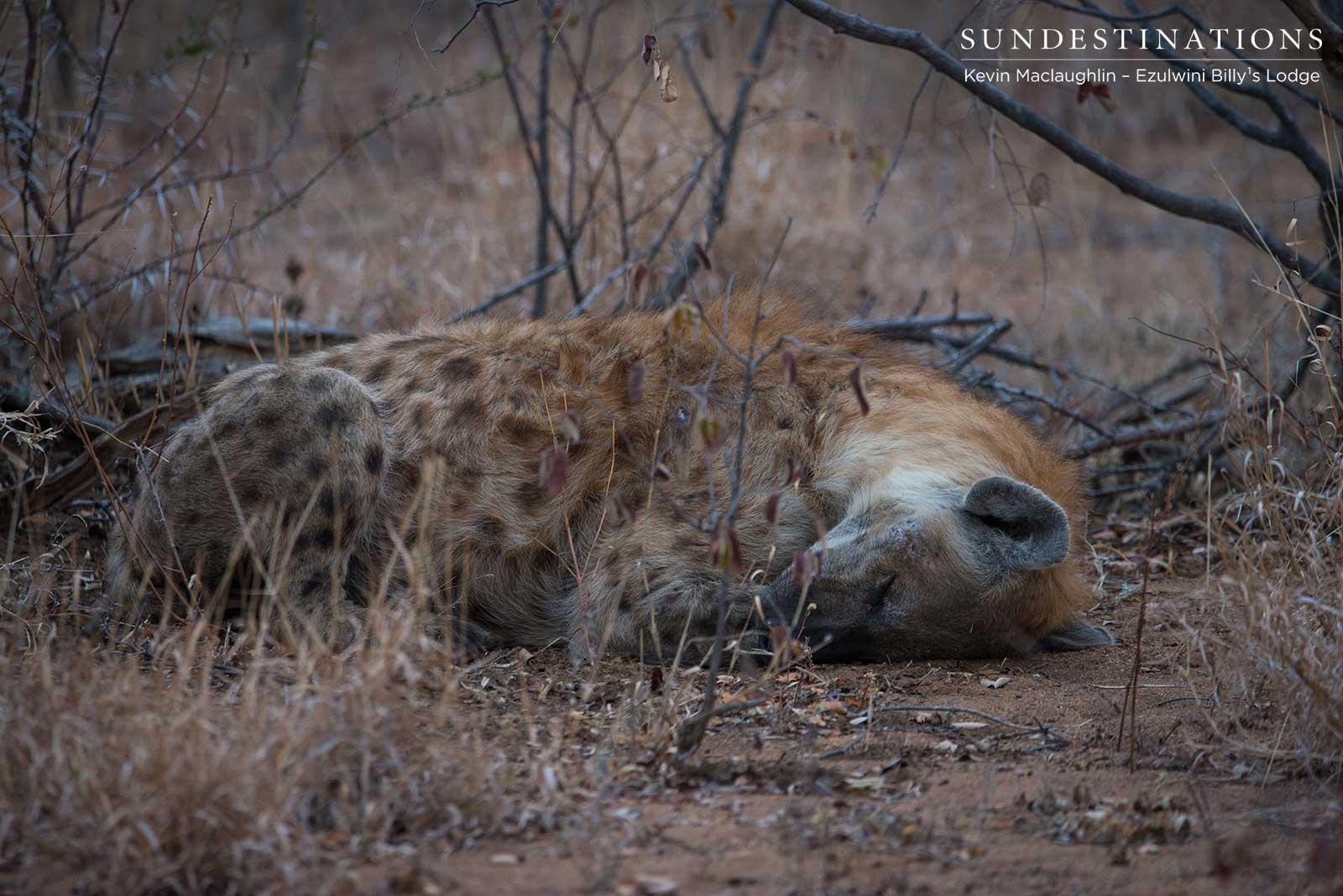 Hyena Ezulwini Gmae Lodges