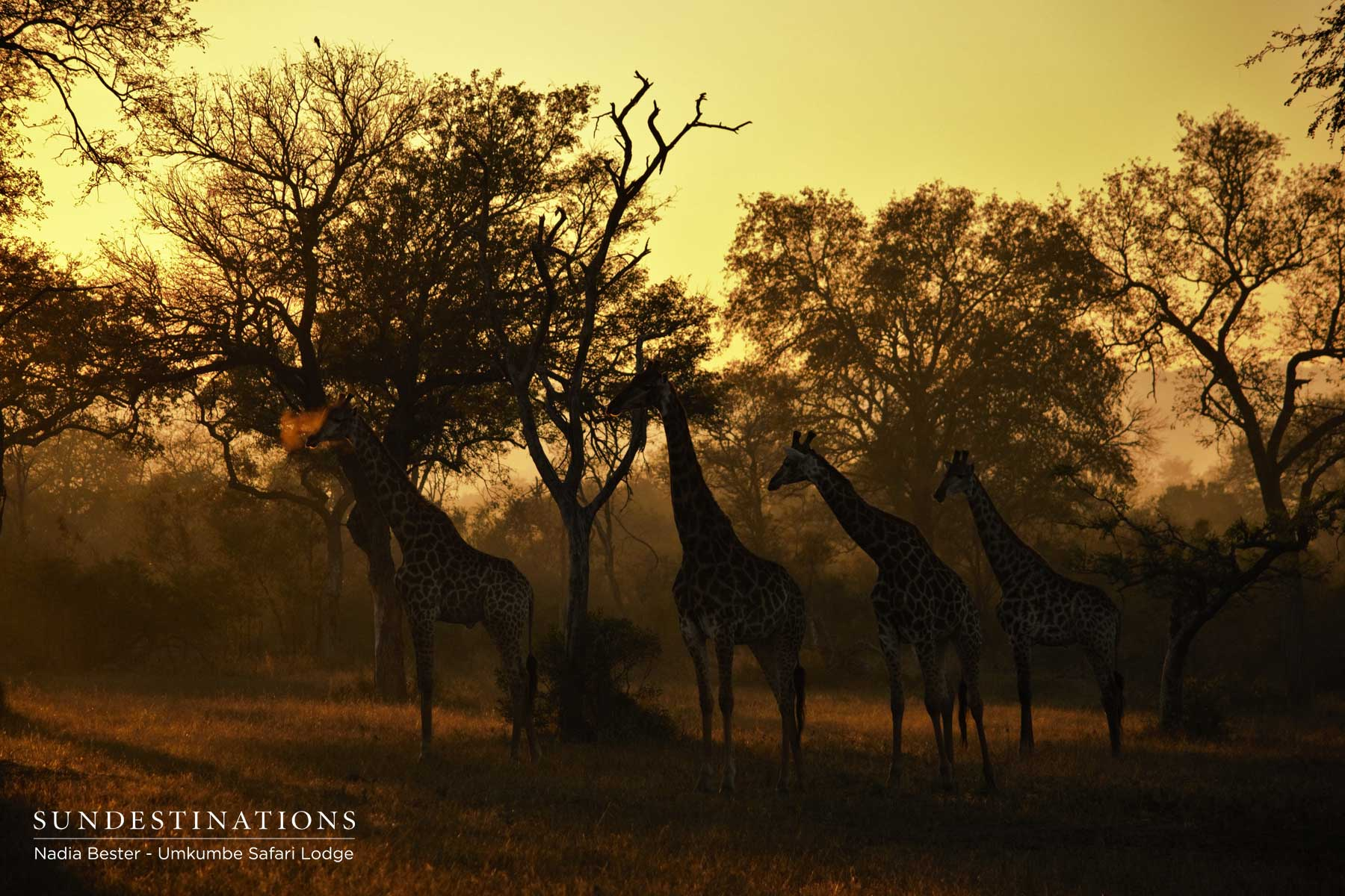 Giraffe in Moody Light Umkumbe