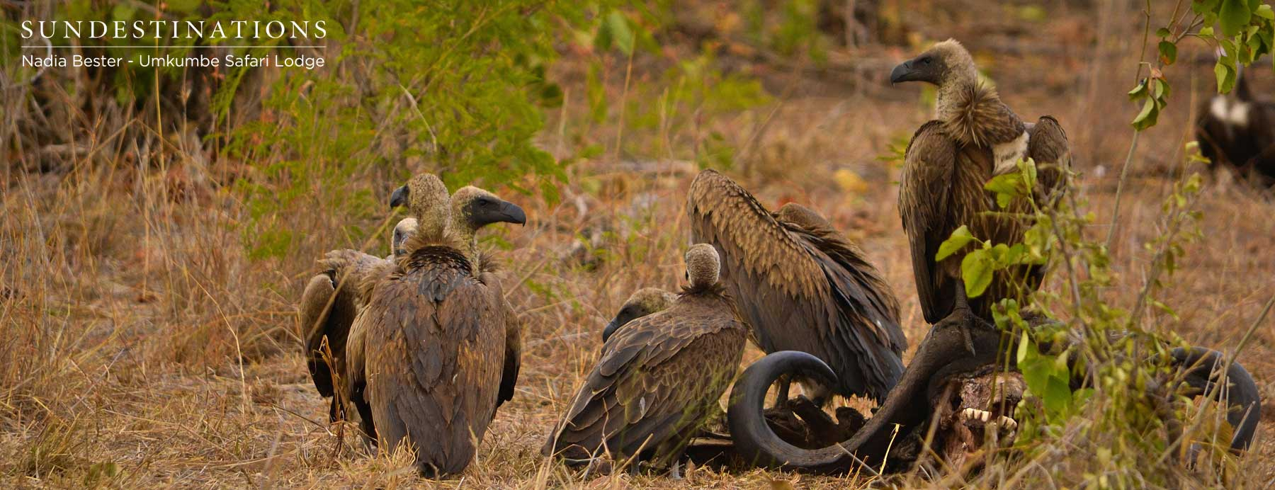 Vultures at Umkumbe