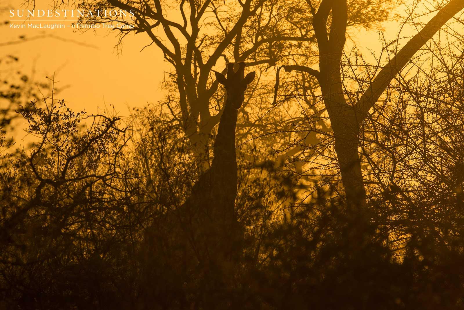 Giraffe at nThambo Tree Camp