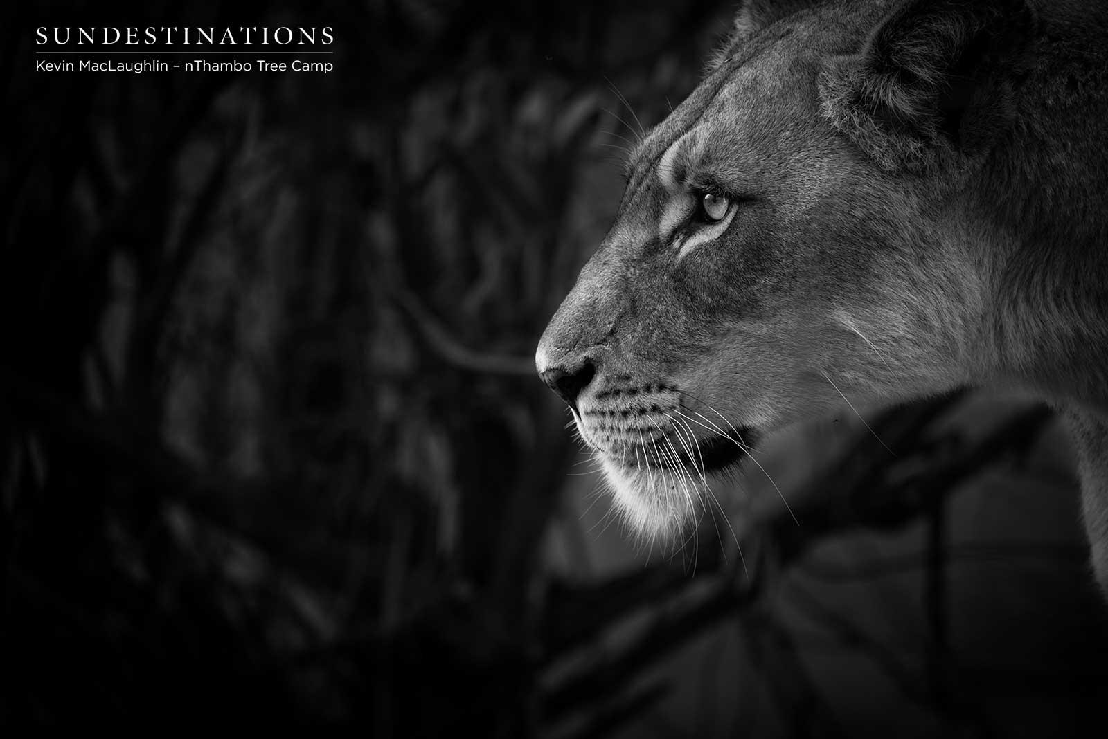nThambo Lioness