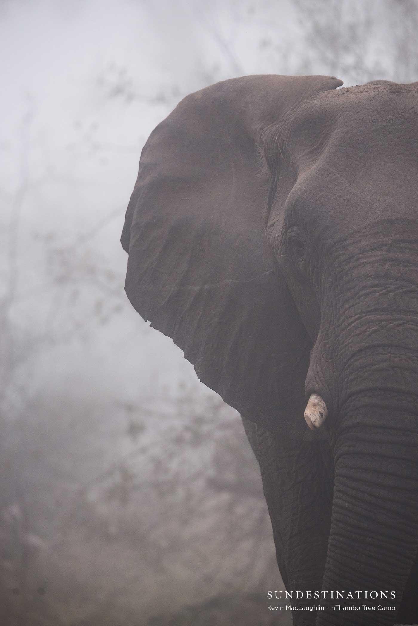 nThambo Elephant