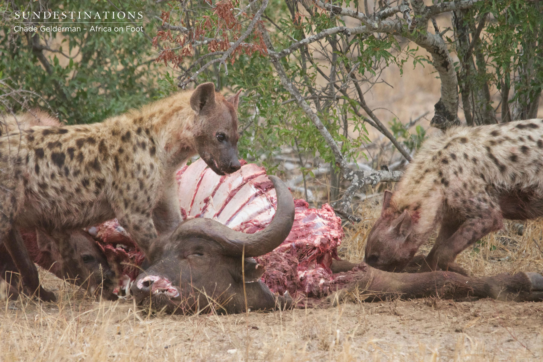 Hyena Devouring Buffalo Kill