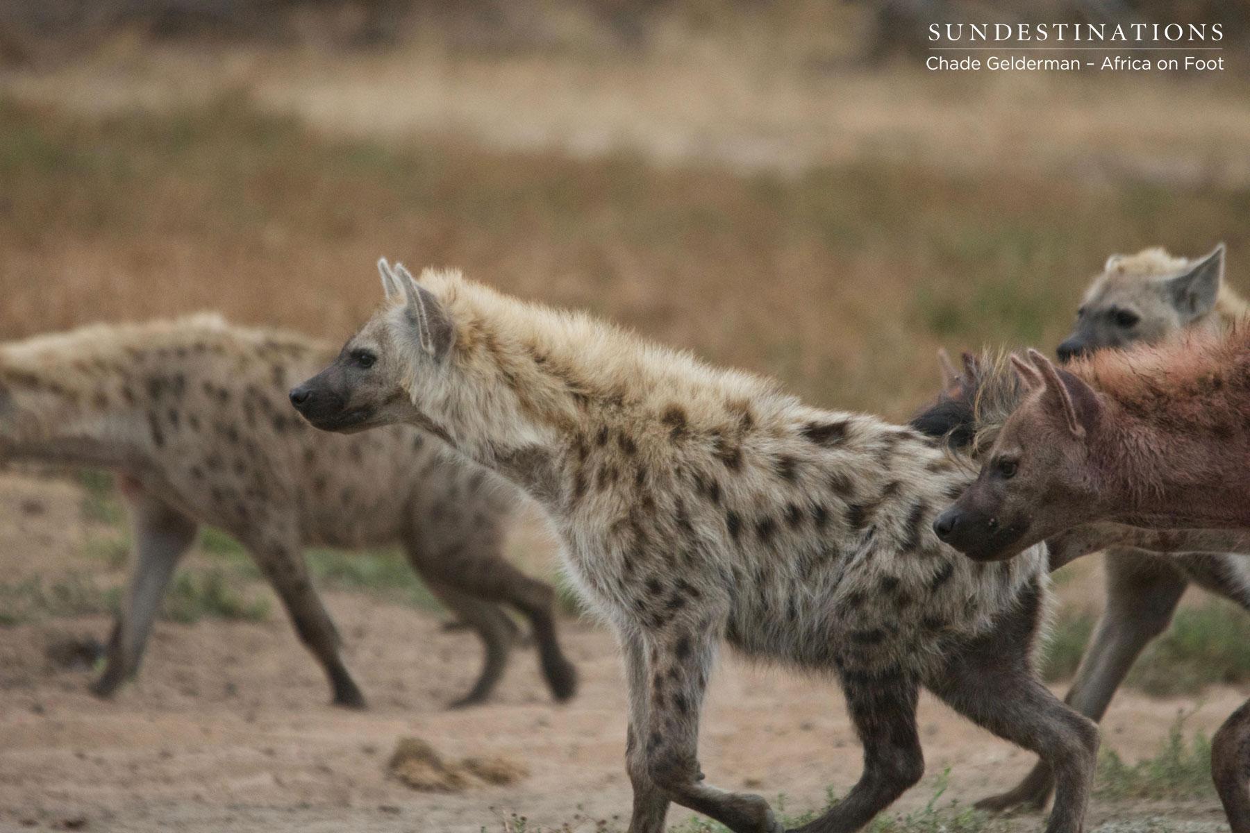 Hyena Heading Towards Kill