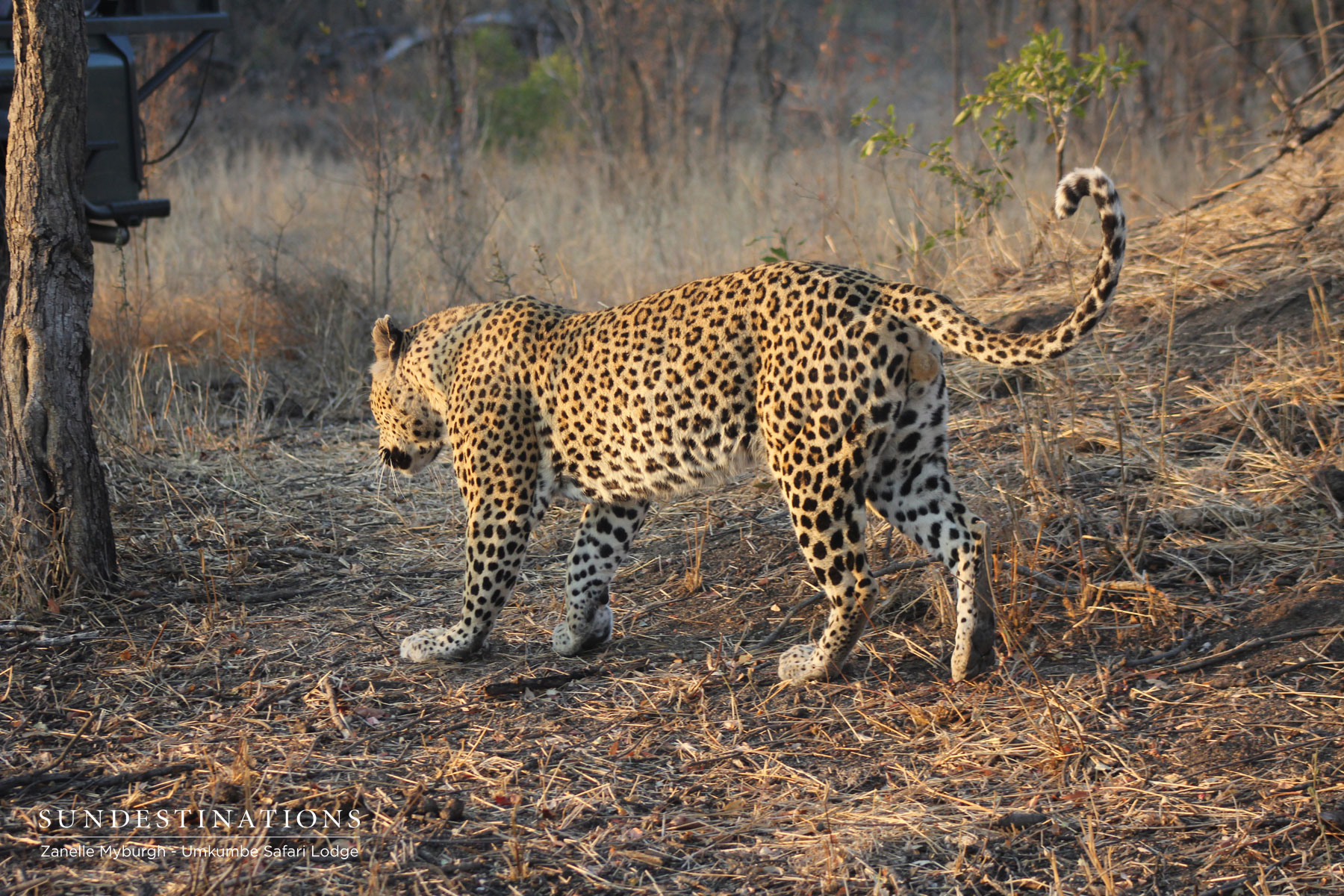 Mxabene Leopard Umkumbe