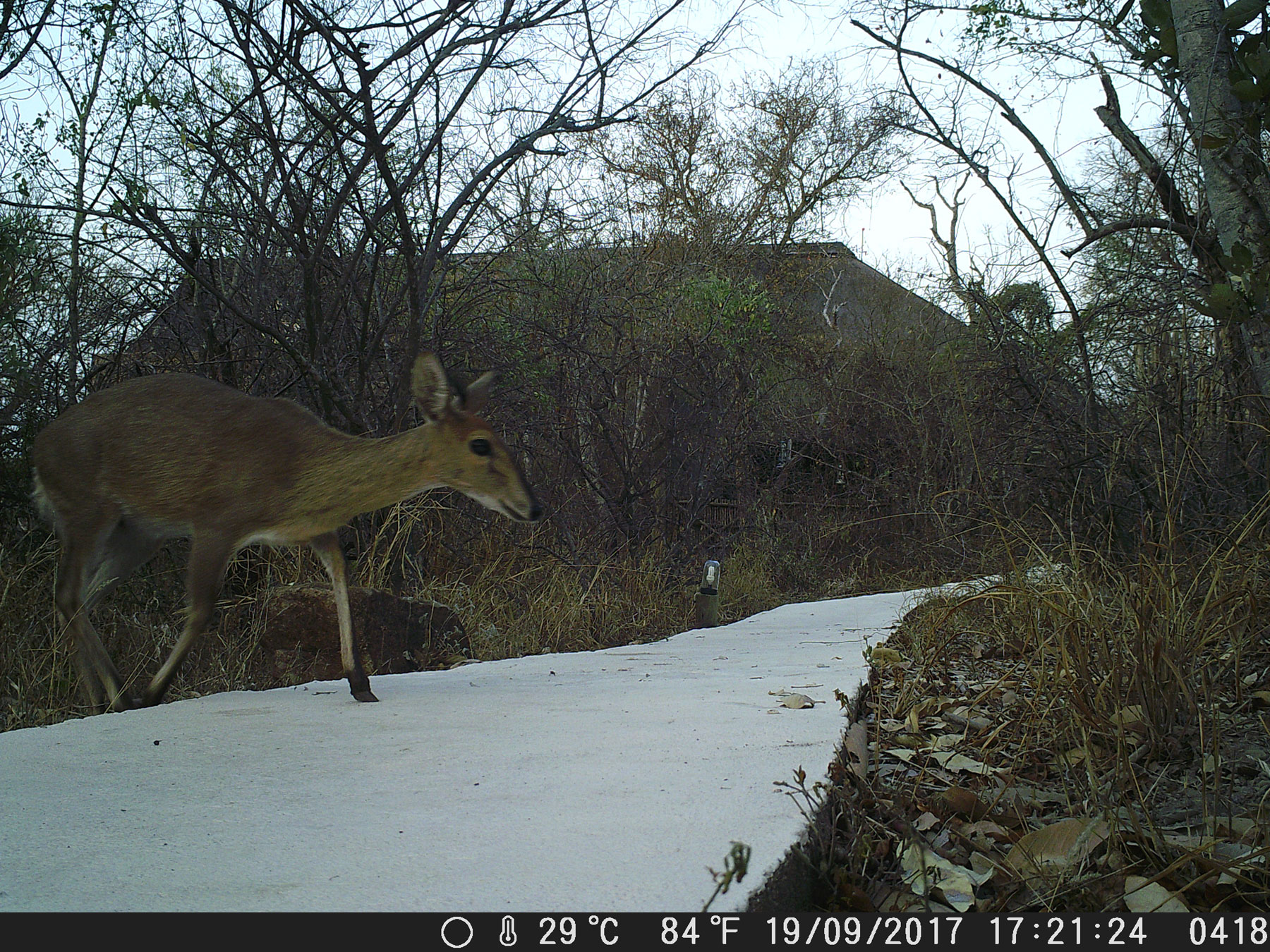Plains Game at Ezulwini Camera Trap