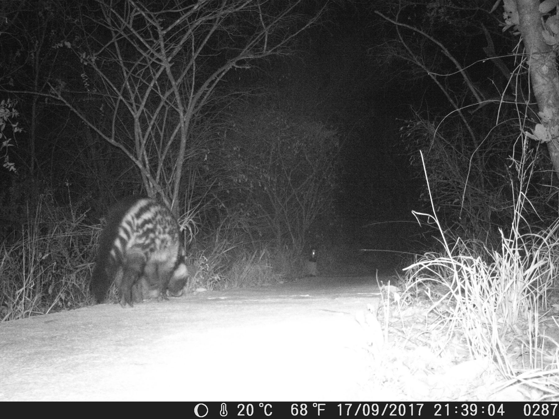Civet on Camera Trap