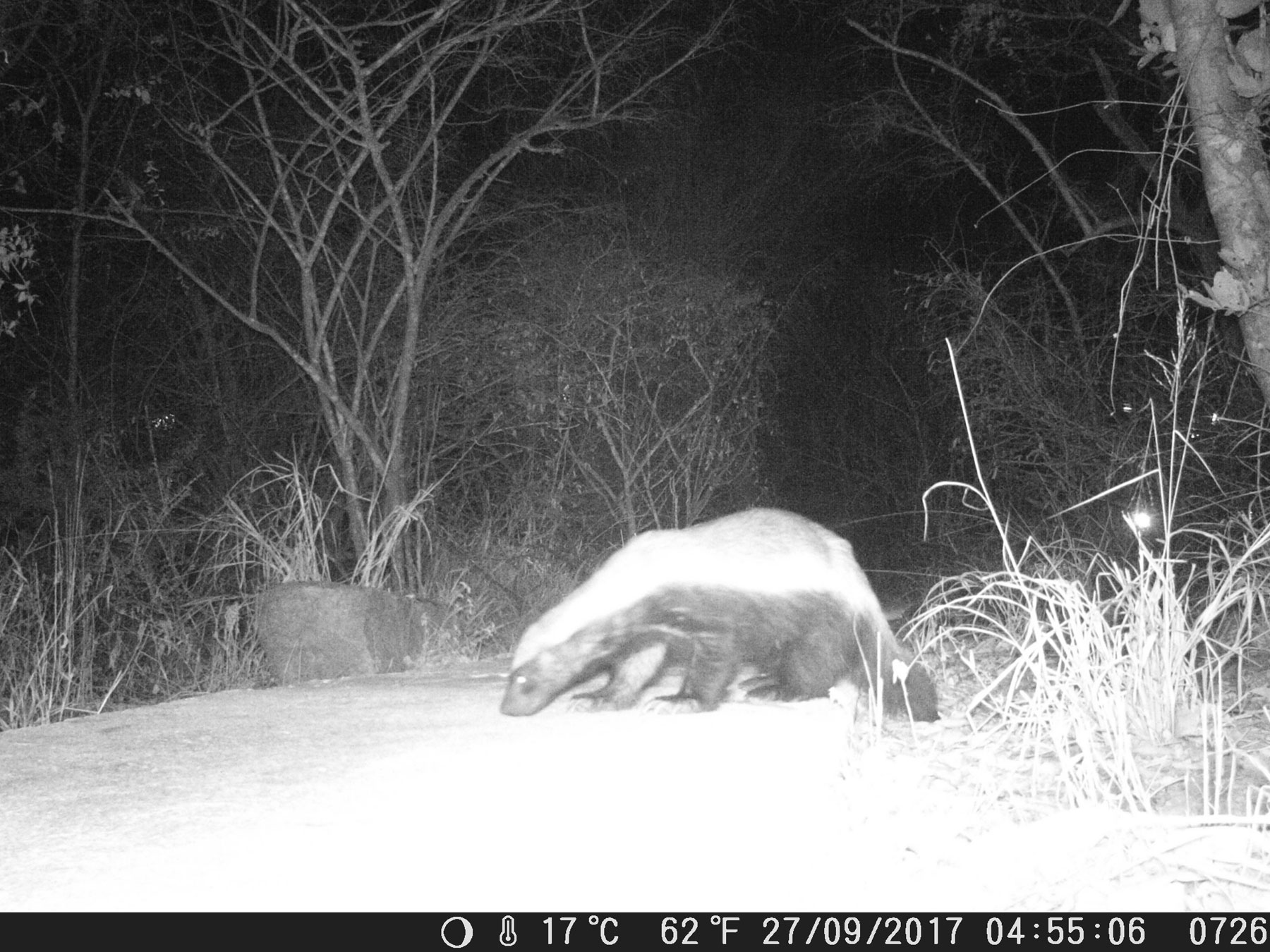 Camera Trap Honey Badger