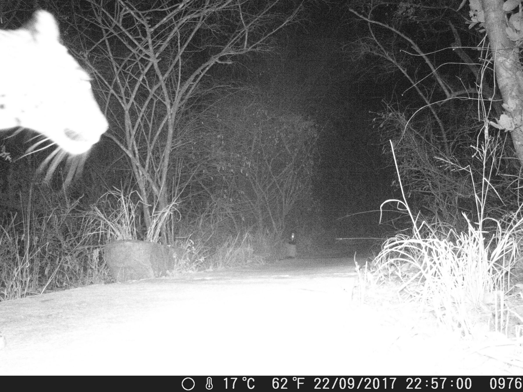 Camera Trap Leopard Face