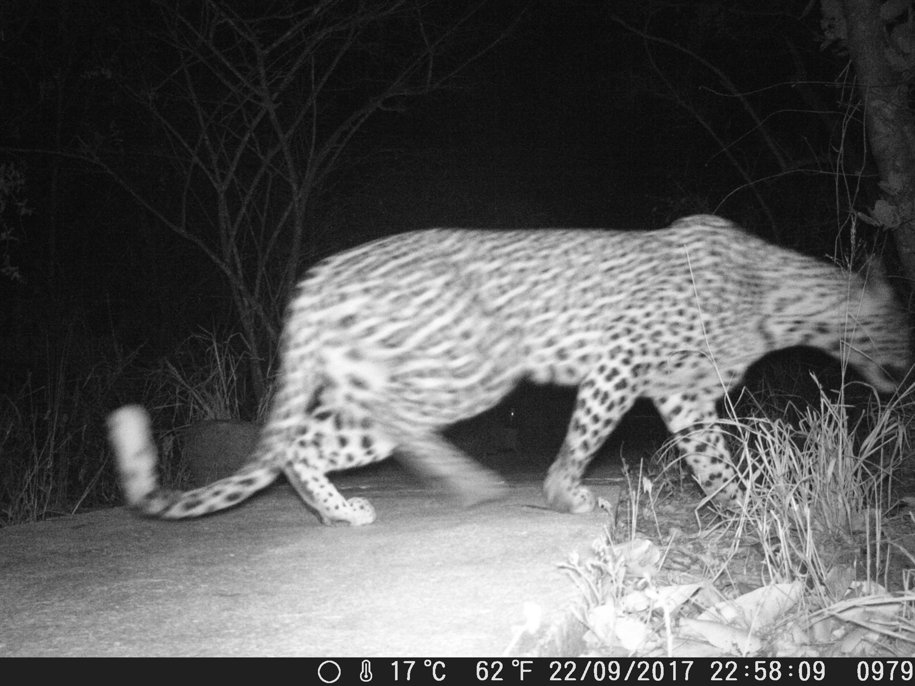 #CameraTrapTales : Leopard Walks Around Ezulwini Lodge