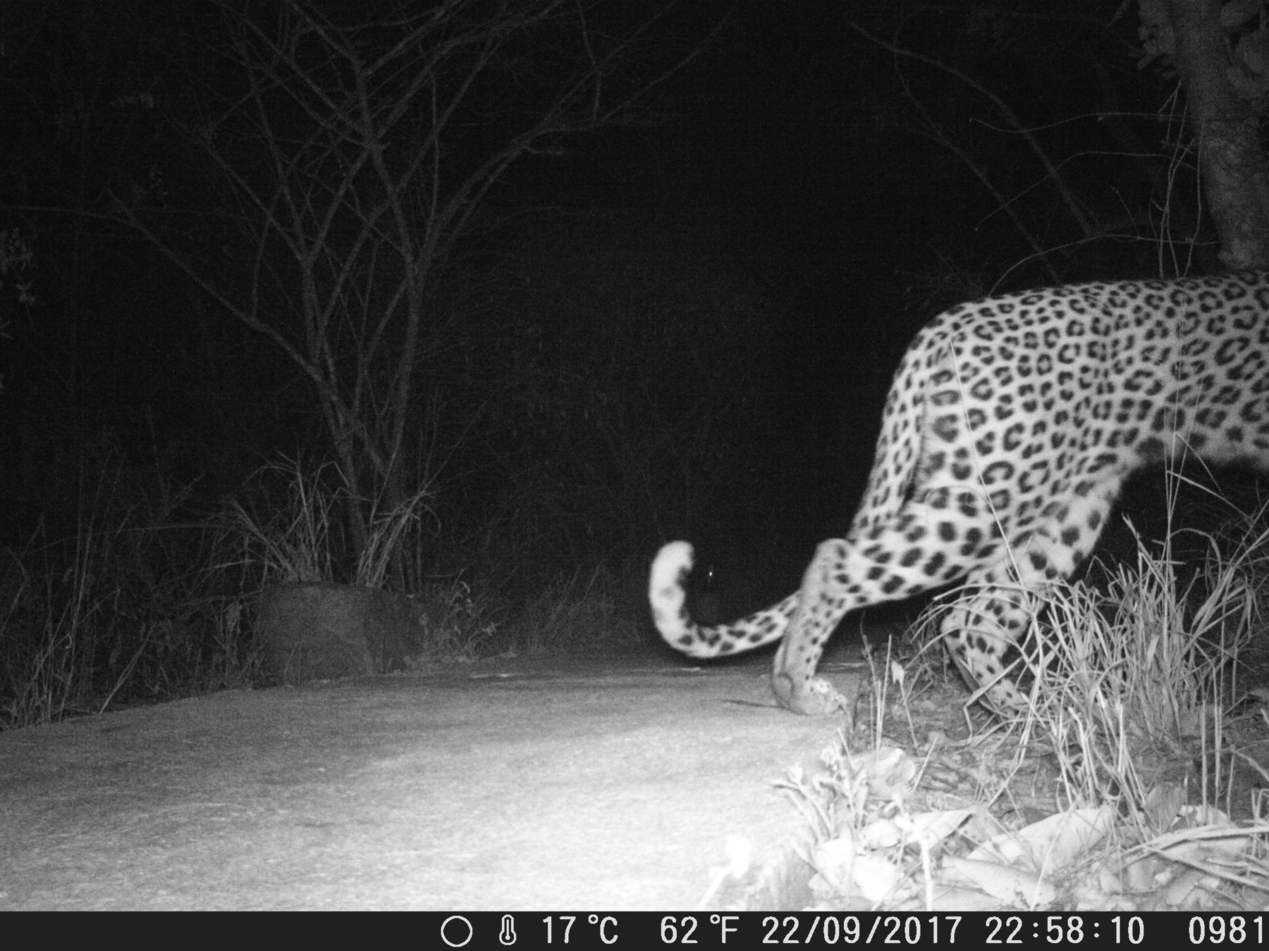 Camera Trap Leopard Tail