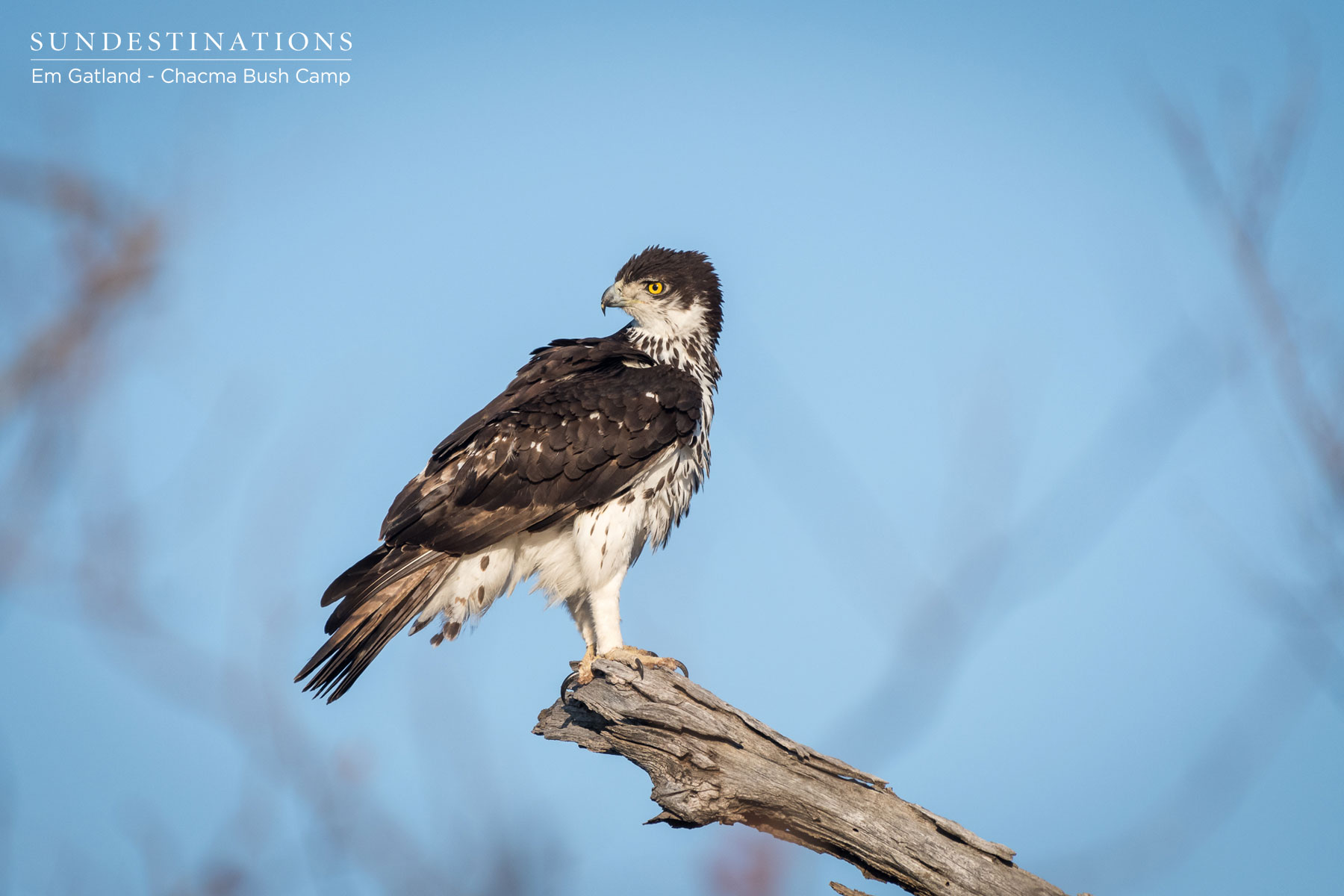 An African Hawk Eagle
