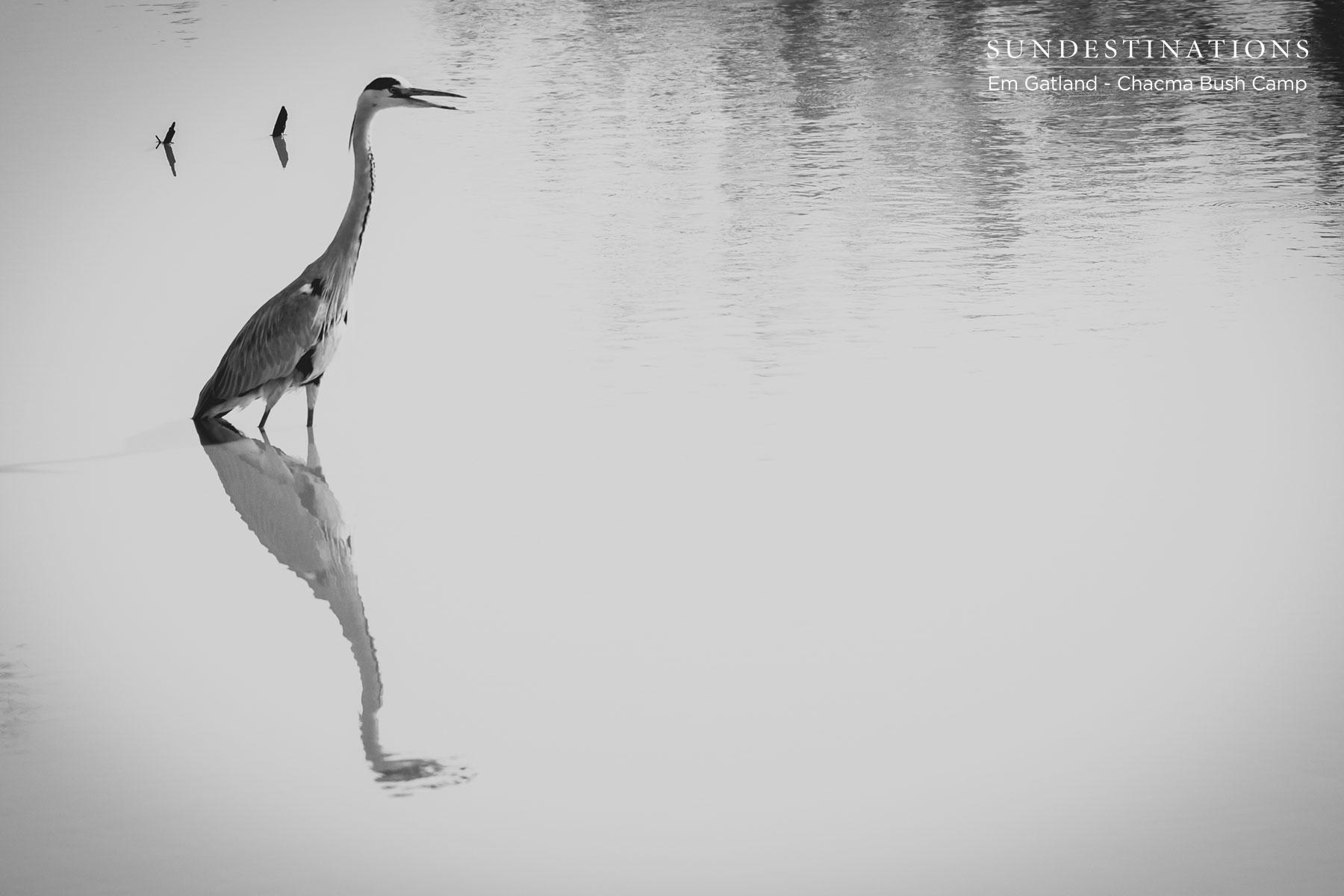 Grey Heron at Chacma