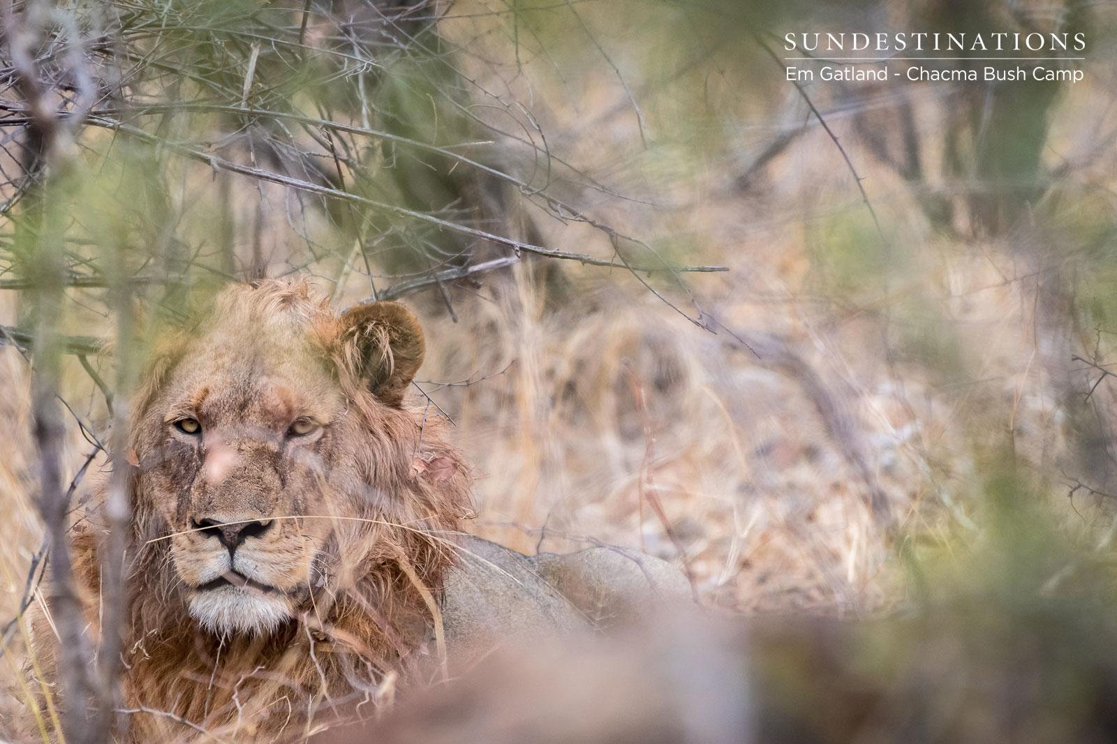 Chacma Maseke Male Lion