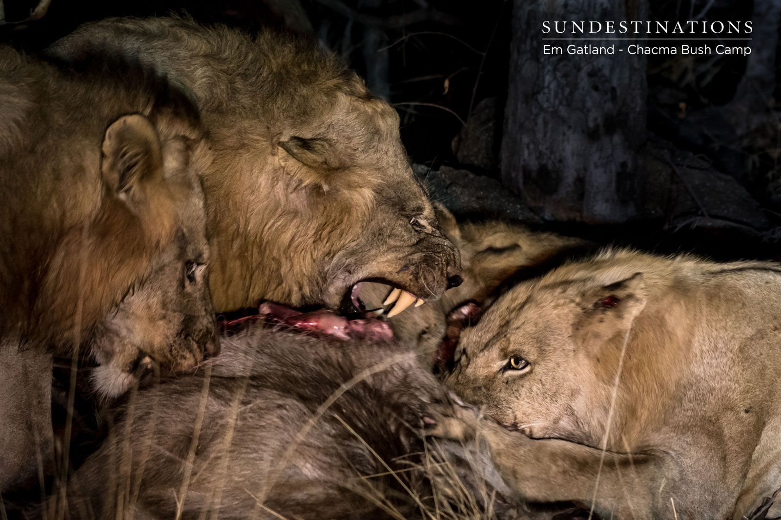Male Lion on a Kill at Chacma