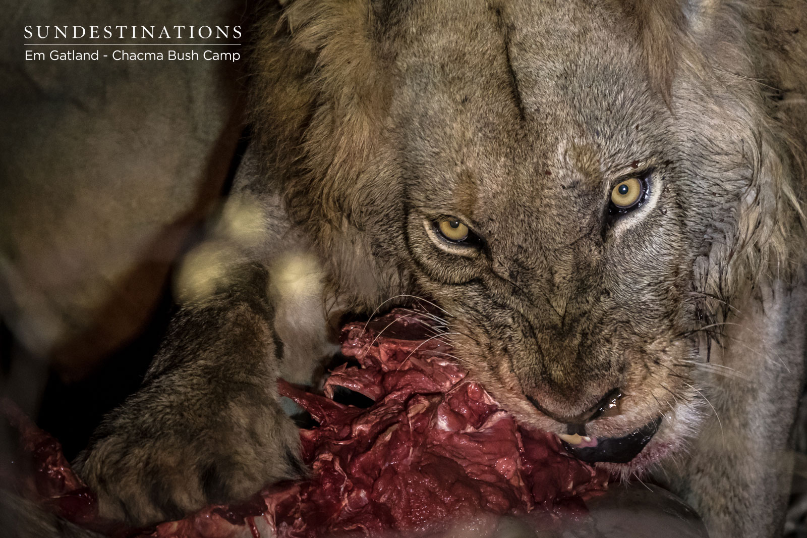 Chacma Male Lion on a Kill