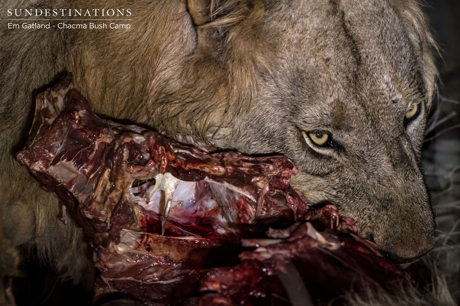 Meet The Maseke Male Lion Coalition