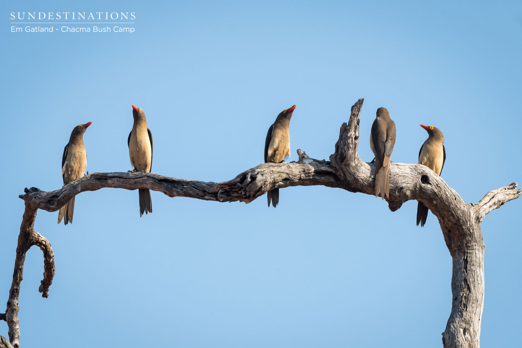 Oxpeckers at Chacma