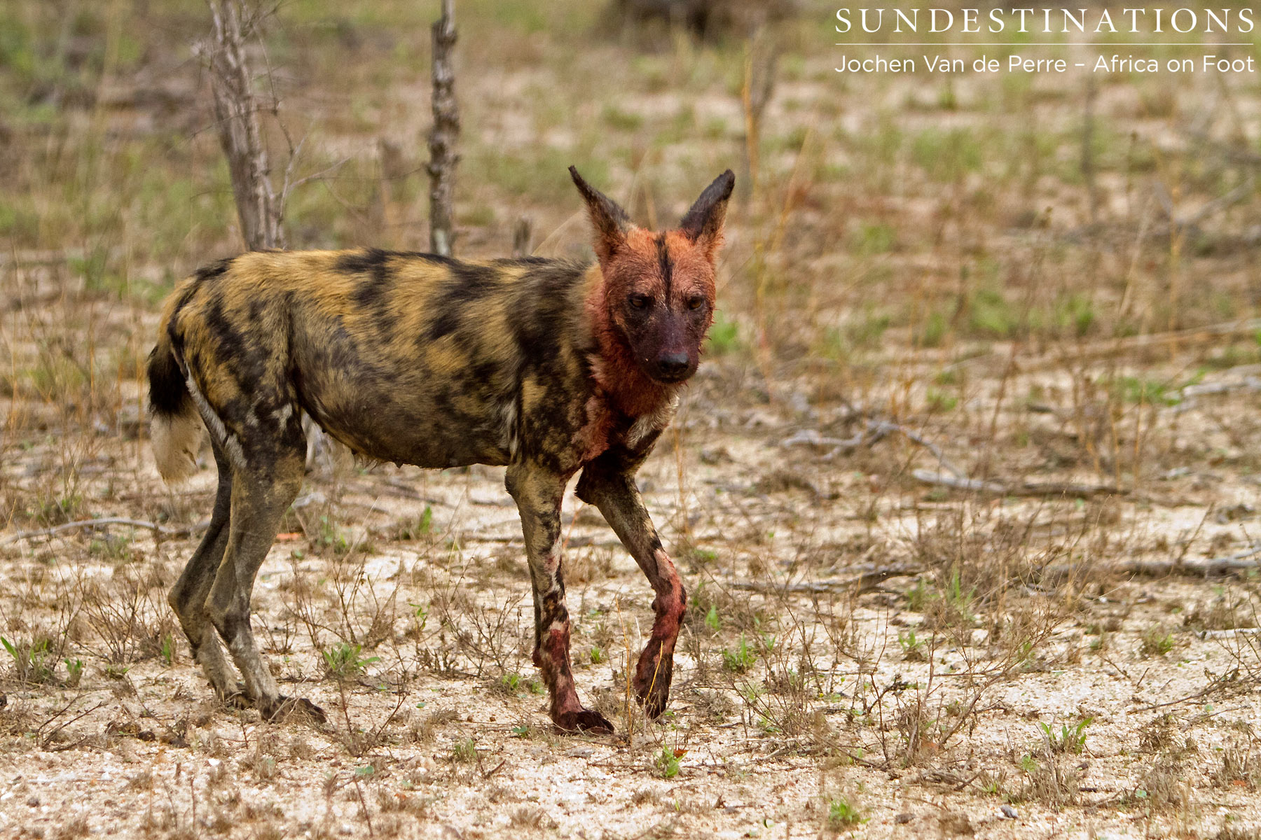 Blood-stained Wild Dog