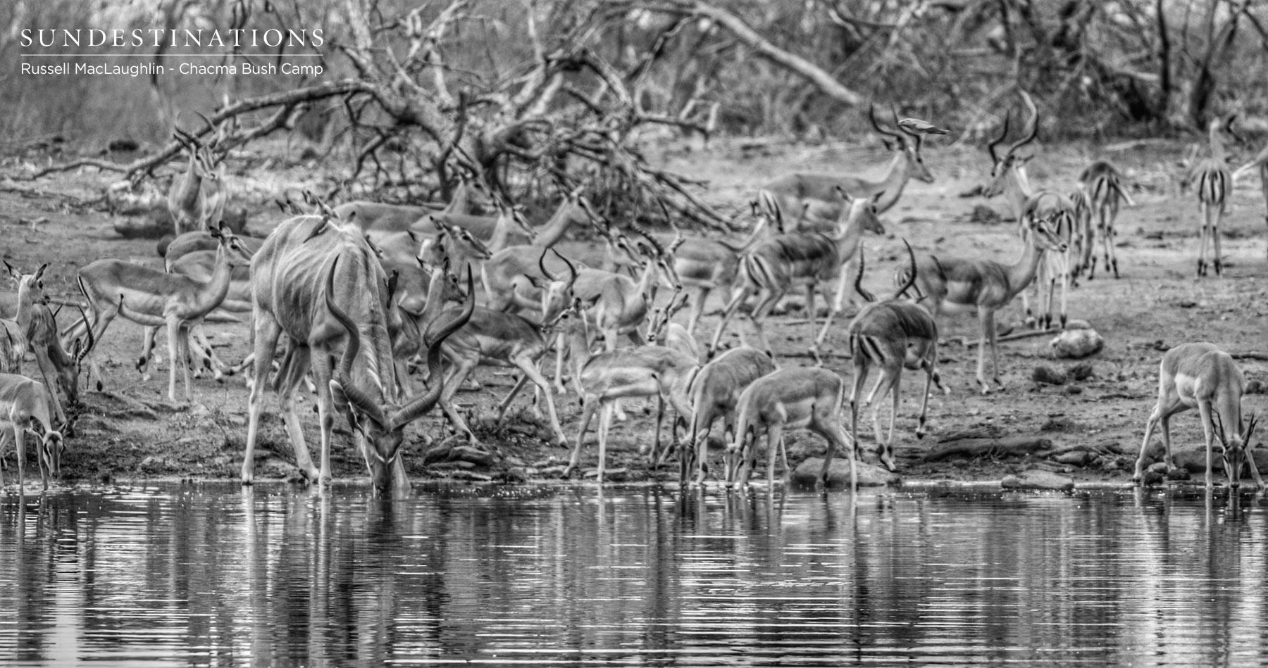Antelope Herds