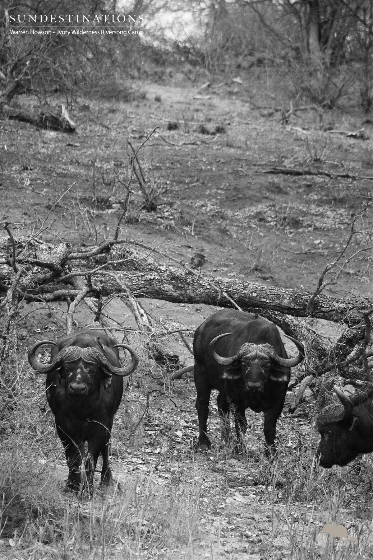 Buffalo at Ivory Wilderness Riversong Camp