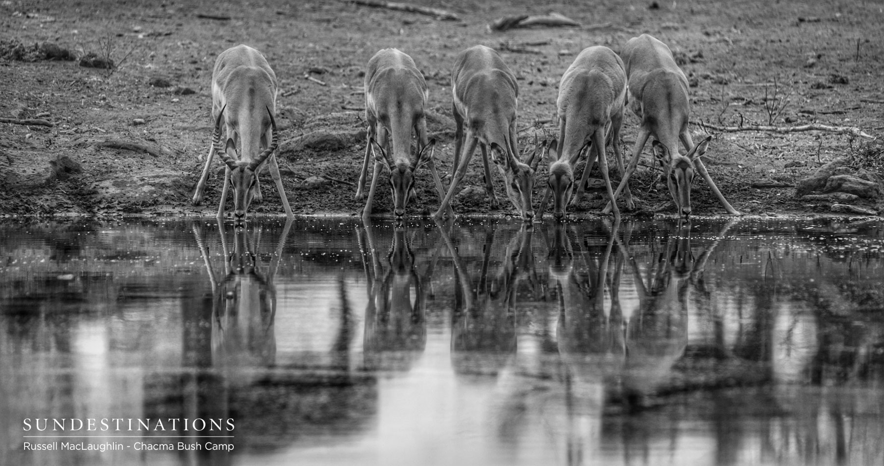 Impala Drinking at Waterhole