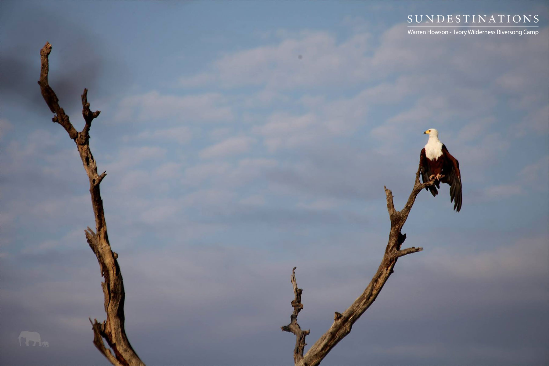 Ivory Wilderness African Fish Eagle